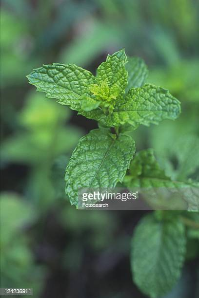Spearmint, Surrounded By Several Leaves, High Angle View, Differential Focus