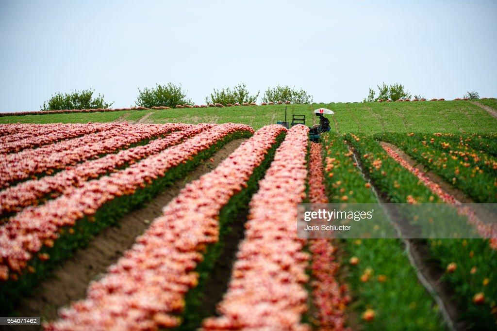 Tulip Fields Blossom Near Magdeburg : News Photo