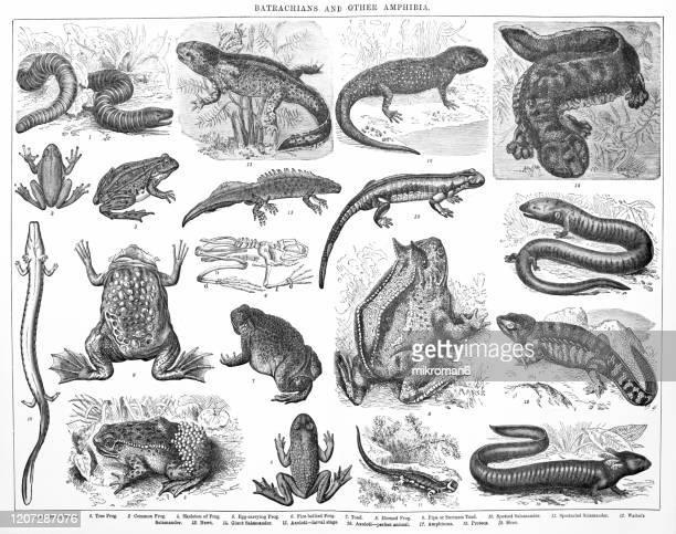 species, classification of batrachians and other amphibia - osseous fishes. antique illustration, published 1894 - sapo do suriname imagens e fotografias de stock