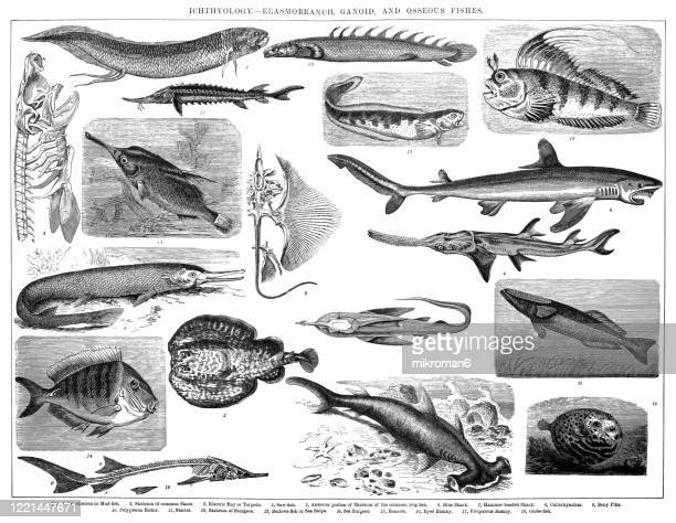 species, classification of ichthyology - elasmobranch, ganoid and osseous fishes. antique illustration, published 1894 - dogfish stock pictures, royalty-free photos & images