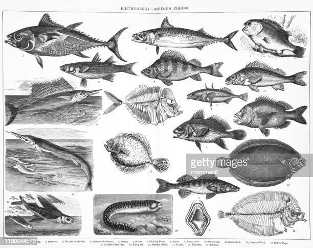 species, classification of ichthyology - osseous fishes. antique illustration, published 1894 - pike fish stock pictures, royalty-free photos & images