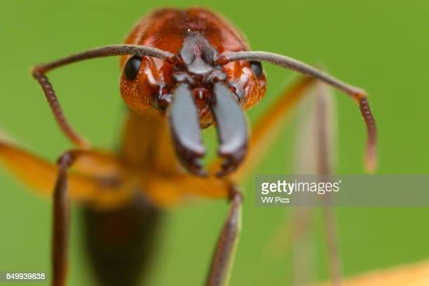 Species in Odontomachus have a pair of large straight mandibles capable of opening 180 degrees