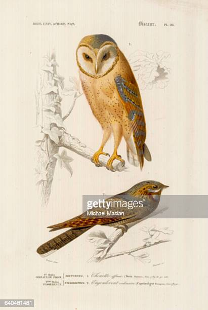 A species of barn owl and the Eurasian nightjar native to Europe and west and central Asia
