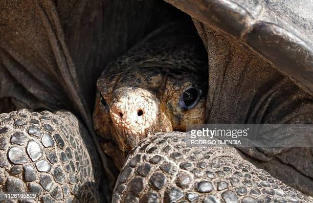 TOPSHOT A specimen of the giant Galapagos tortoise Chelonoidis phantasticus thought to have gone extint about a century ago is seen at the Galapagos...