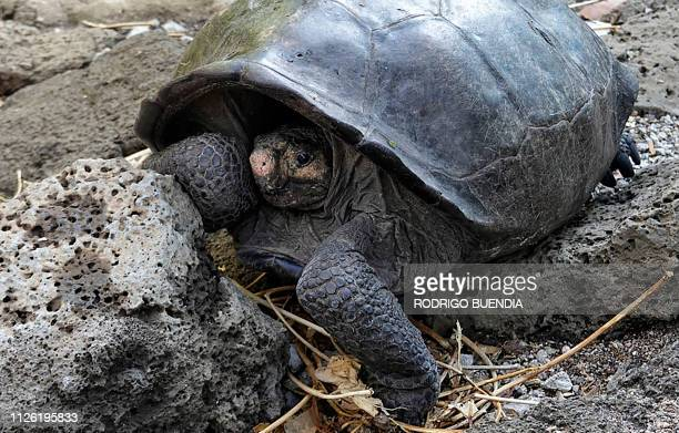 A specimen of the giant Galapagos tortoise Chelonoidis phantasticus thought to have gone extint about a century ago is seen at the Galapagos National...