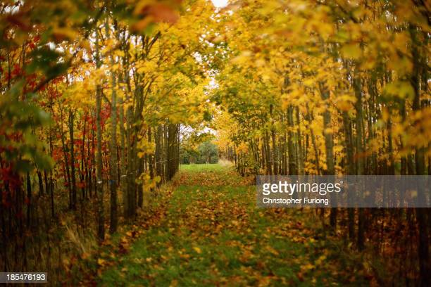 Specimen trees begin to take on autumnal colours at a tree plantation in the Cheshire countryside on October 21, 2013 in Knutsford, United Kingdom....