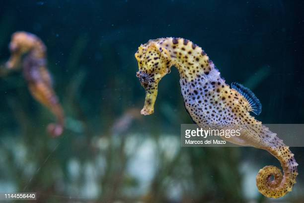 Specimens of longsnout seahorse also known as slender seahorse pictured in its enclosure at Faunia zoo park