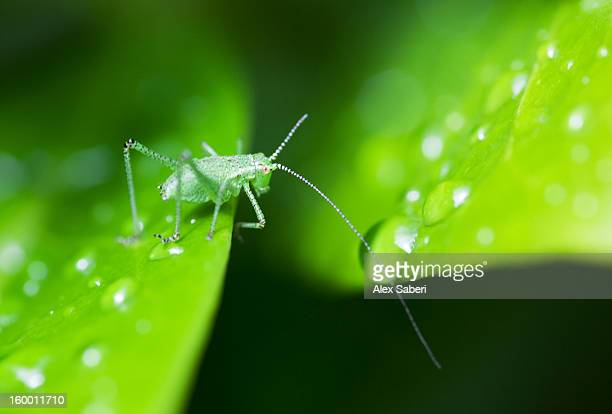 a speckled bush cricket juvenile on a leaf speckled with dew. - alex saberi stock pictures, royalty-free photos & images