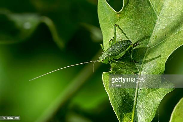 Speckled bushcricket male on leaf
