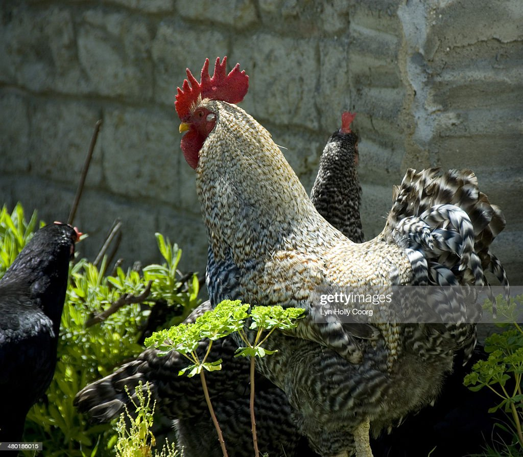 Speckled cockerel in sunshine against stone wall : Stock Photo