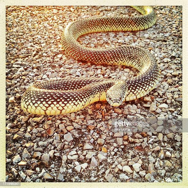 speckled kingsnake  crossing a road - kingsnake stock photos and pictures