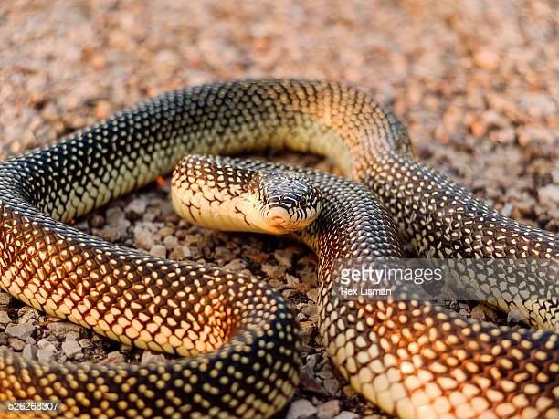 speckled kingsnake - kingsnake stock photos and pictures