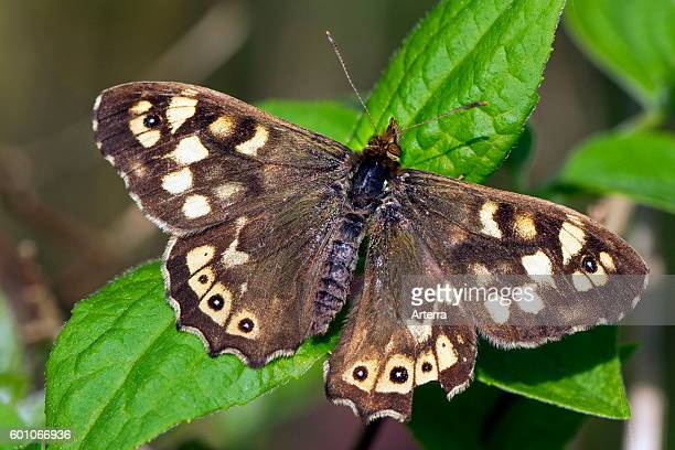 Speckled wood butterfly on leaf.