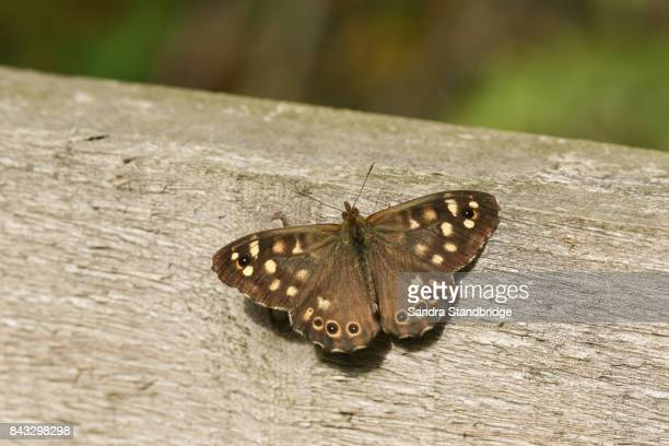 a speckled wood butterfly (pararge aegeria) perched on a fence. - hertford hertfordshire stock pictures, royalty-free photos & images
