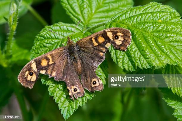 Speckled wood butterfly with severely damaged wings resting on leaf