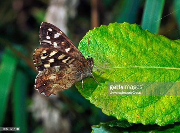 A Speckled Wood ButterflyPhotographed In Staffordshire England