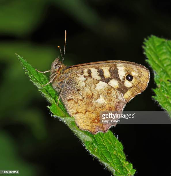 speckled wood [ Pararge aegeria] butterfly