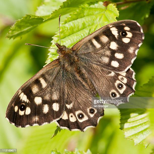 speckled wood - ian grainger stock pictures, royalty-free photos & images