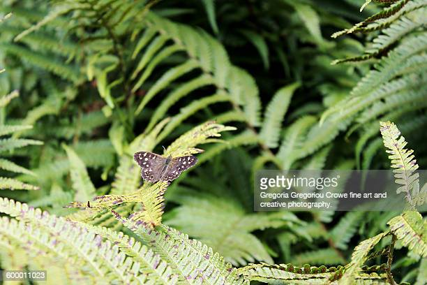 speckled wood-pararge aegeria - gregoria gregoriou crowe fine art and creative photography. stock photos and pictures