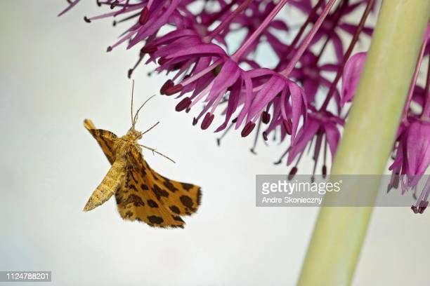 Speckled Yellow (Pseudopanthera macularia) in flight on ornamental leek (Allium), Germany