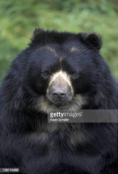 Spectacled bear (Tremarctos ornatus), captive; La Planada Nature Reserve, Colombia