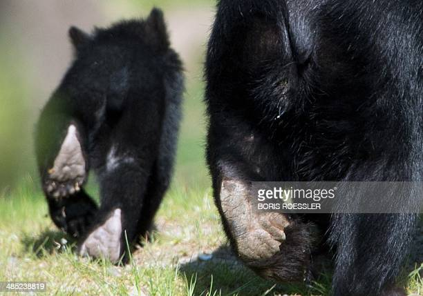 Spectacled bear mother Cashu walks next to one of her babies on April 17 2014 at the zoo in Frankfurt am Main western Germany Two still nameless...