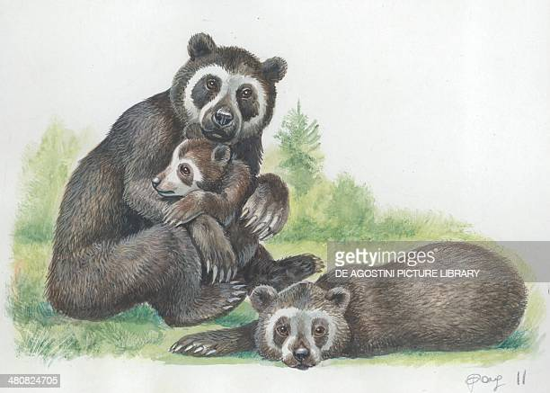 Spectacled bear with cubs illustration