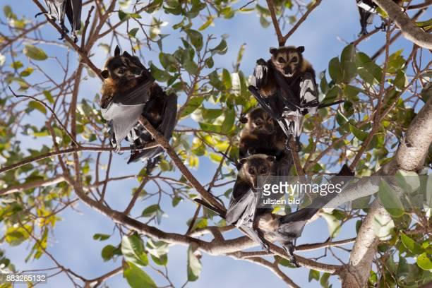 Spectacled Flying Fox Pteropus conspicillatus Cairns Australia