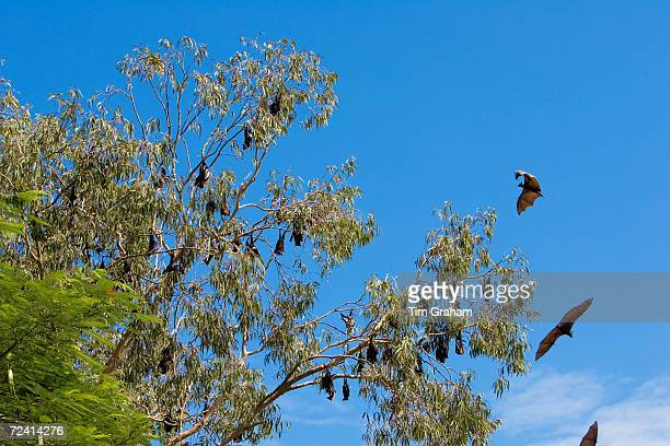 Spectacled Flyingfox bats roosting Port Douglas Queensland Australia