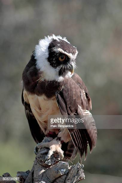 spectacled owl - iñaki respaldiza stock pictures, royalty-free photos & images