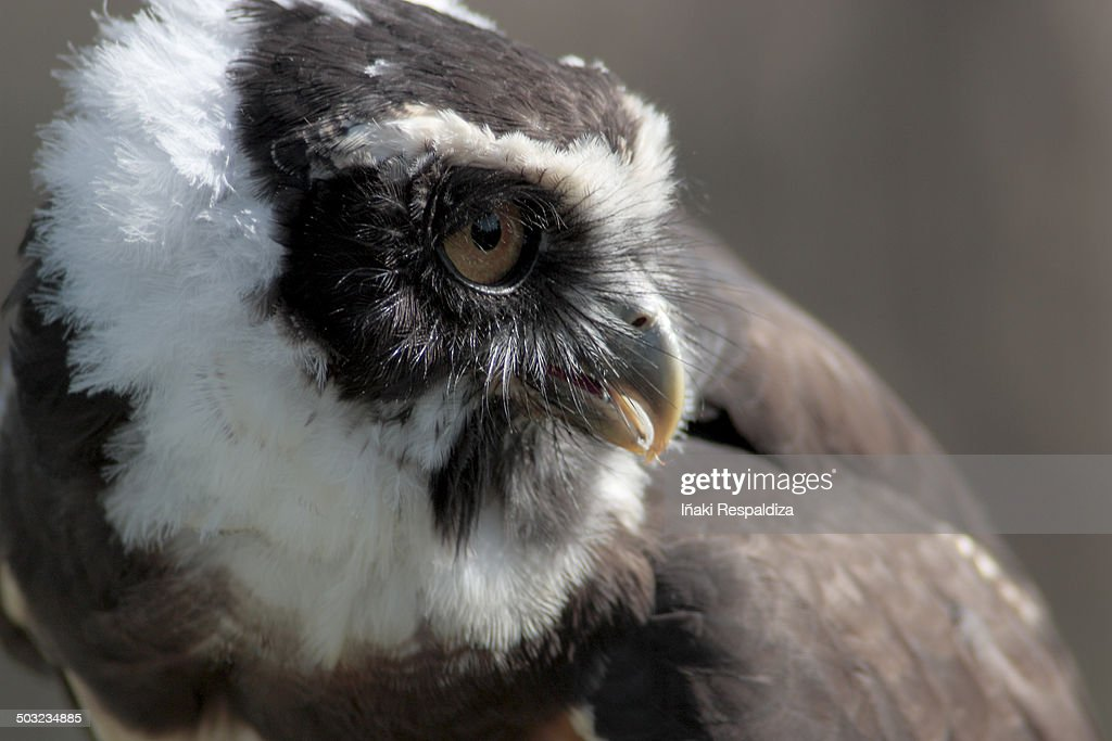 Spectacled owl : Foto de stock
