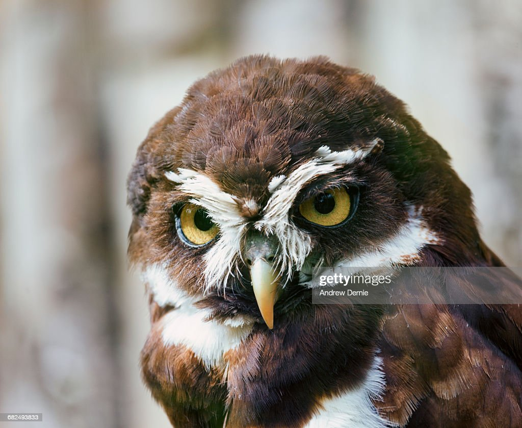 Spectacled Owl : Stock Photo