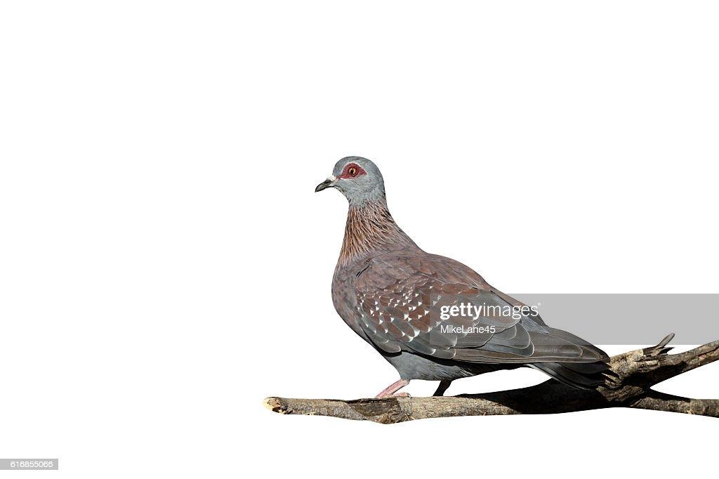 Spectacled pigeon, Columba guinea : Stock Photo
