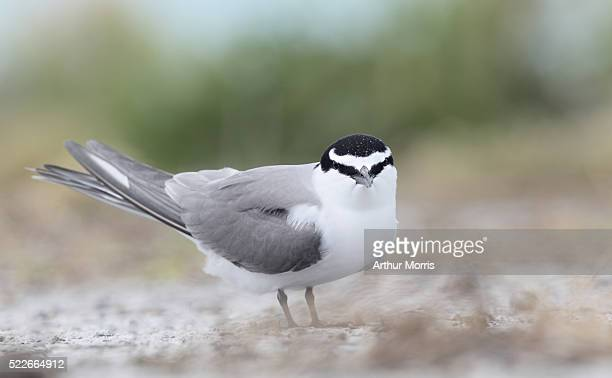 spectacled tern - midway atoll stock pictures, royalty-free photos & images