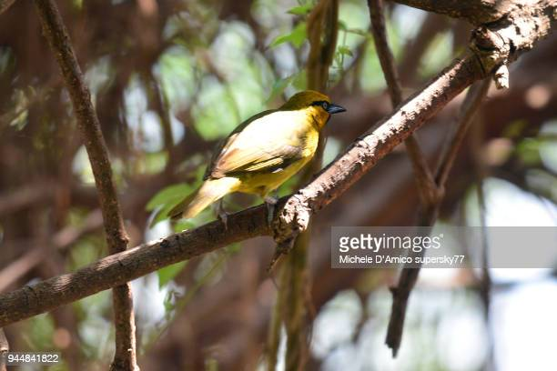 spectacled weaver (ploceus ocularis) - michele weaver stock pictures, royalty-free photos & images