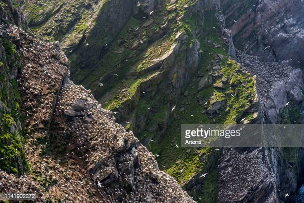 Spectacular coastline with Northern gannet breeding colony in sea cliff at Hermaness Unst Shetland Islands Scotland UK
