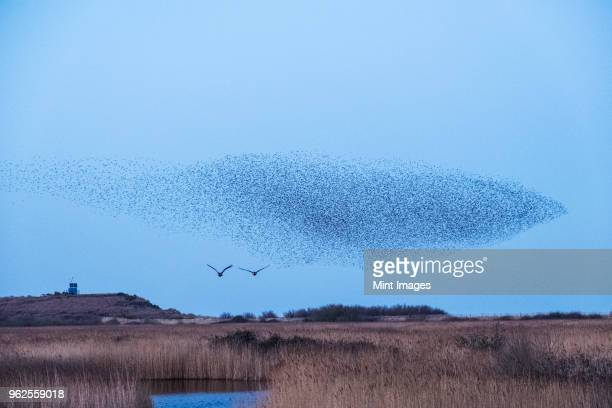 Spectacular murmuration of starlings, a swooping mass of thousands of birds in the sky.