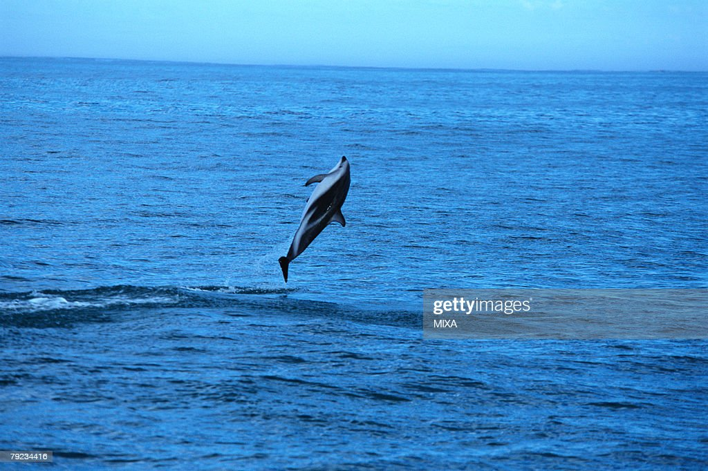 A spectacular view of a dolphin jumping out of surface of the ocean : Stock Photo