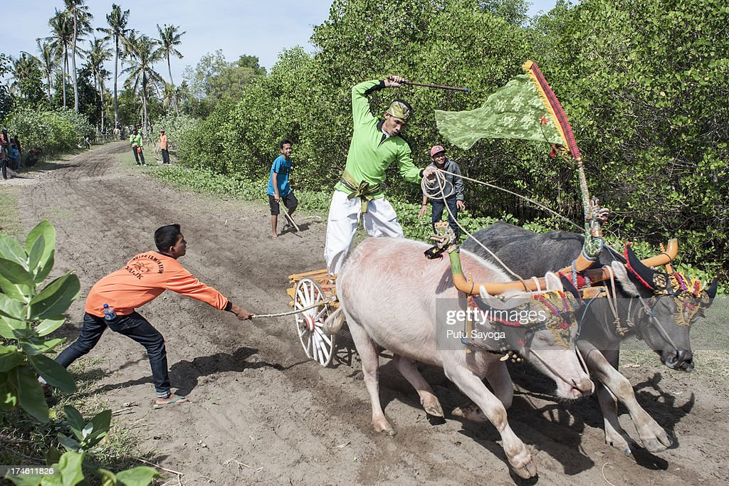 A spectator hits the buffalo with a stick to make them run faster during 'Mekepung' traditional water buffalo race on July 28, 2013 in Jembrana, Bali, Indonesia. Meaning 'to chase around', Mekepung is a race of water buffaloes driven by a jockey and was originally designed as a fun game for peasants to spend their free time between the end of harvest and the start of the planting season