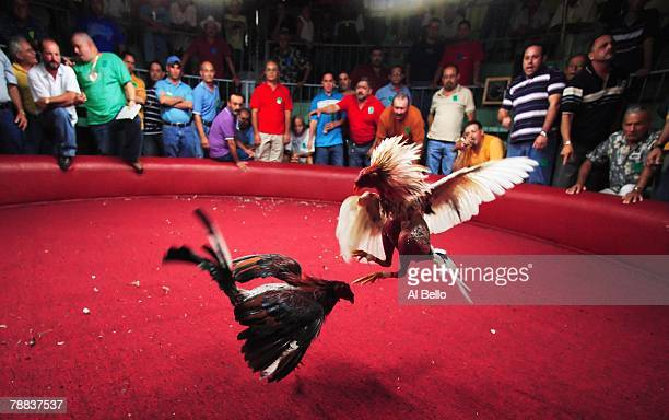 Spectators cheer on the Fighting Roosters on opening night of the Cockfighting season at the Coliseo Central De Barranquitas on November 11 2006 in...