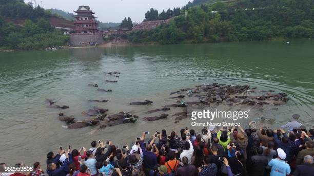 Spectators watch a herd of cattle crossing the Jialing River for grass at Peng'an County on April 28 2018 in Nanchong Sichuan Province of China The...