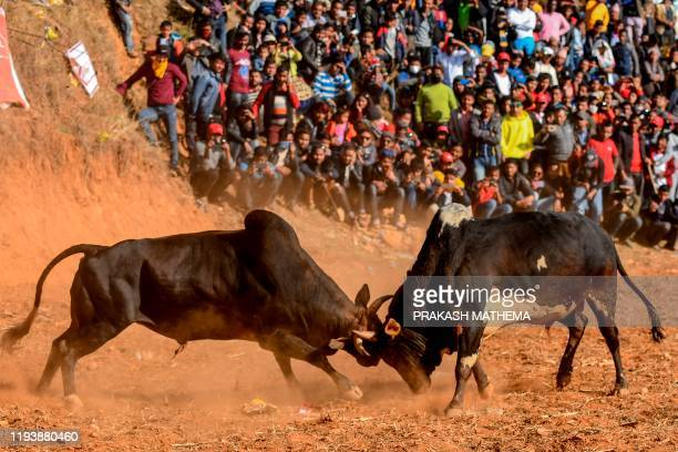 TOPSHOT Spectators watch bulls fighting during the Maghe Sankranti festival to commemorate the start of the holy month of Magh bringing an end to...