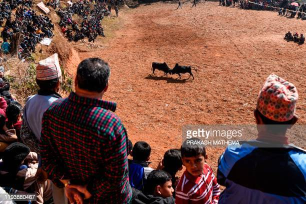 Spectators watch bulls fighting during the Maghe Sankranti festival to commemorate the start of the holy month of Magh bringing an end to winter in...