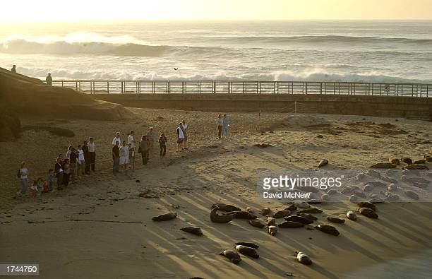 Spectators watch slumbering harbor seals from behind a rope barrier at Children's Pool Beach January 24, 2003 in La Jolla, California. Since taking...