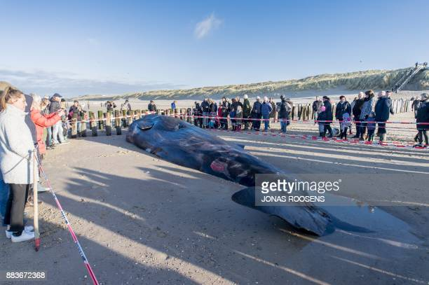Spectators watch the death body of sperm-whale that is beached at Domburg, on December 1, 2017. / AFP PHOTO / ANP / JONAS ROOSENS / Netherlands OUT