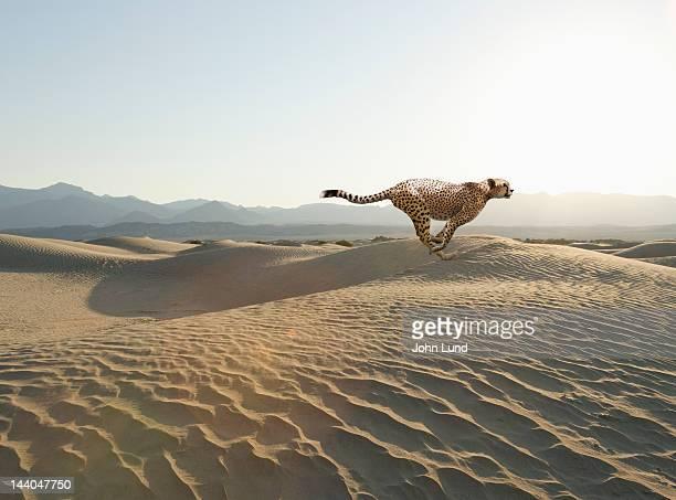 A speeding cheetah sprints across the desert