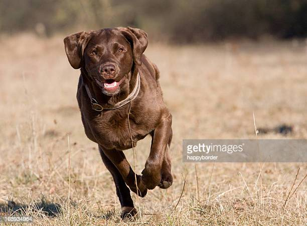 speedy dog - chocolate labrador stock pictures, royalty-free photos & images