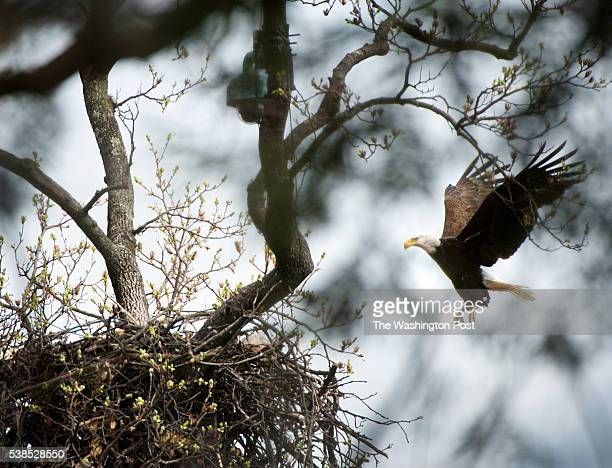 Spelling his female mate a male Bald Eagle lands on his nest containing two eggs at the US National Arboretum in Washington DC on March 11 2016 The...