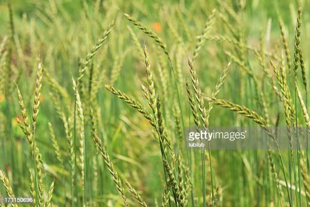 Dinkel Ohren close-up organic Kulturpflanze
