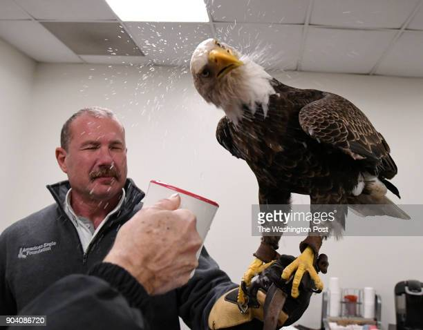 Spencer Williams gets a bath as Challenger a bald eagle shakes his head while drinking water following his flight at Lincoln Financial Field in...